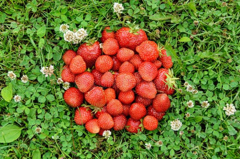 Fresas maduras frescas en hierba verde fotos de archivo