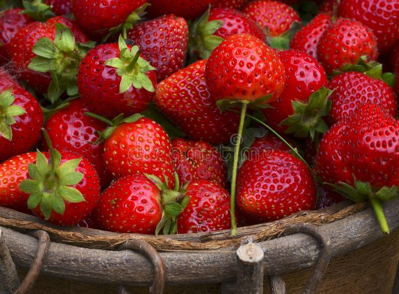 Fresas orgánicas maduras frescas en la cesta Bayas del harvestSummer de la fresa foto de archivo
