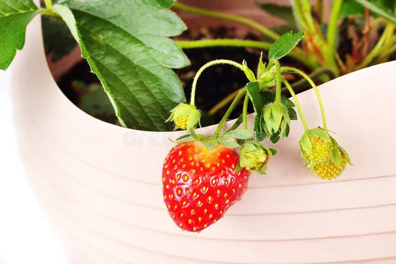 Fresas que crecen en cesta al aire libre fotos de archivo libres de regalías