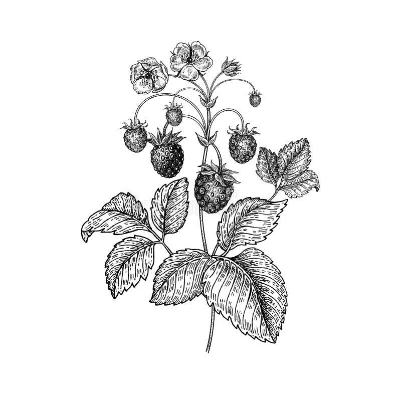 Fresas realistas del dibujo de la mano stock de ilustración