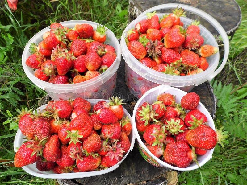 Fresas recientemente escogidas La nueva cosecha foto de archivo libre de regalías