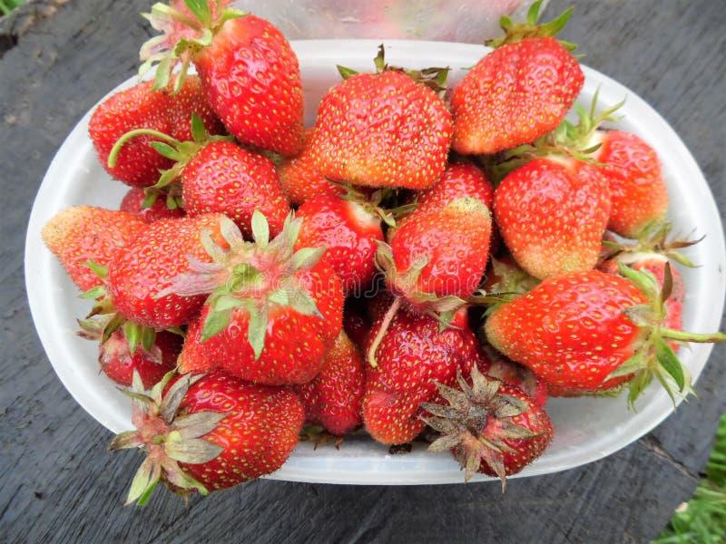 Fresas recientemente escogidas La nueva cosecha imagen de archivo libre de regalías