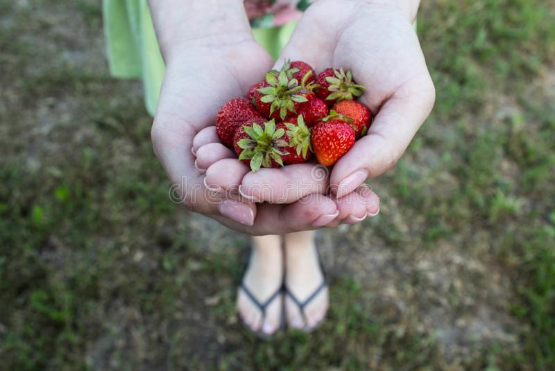 Fresas sabrosas jugosas maduras en las palmas de una muchacha imagen de archivo