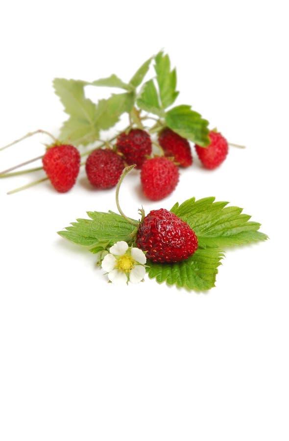 Fresas salvajes foto de archivo