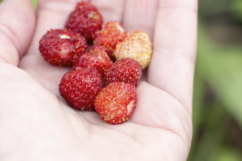 Fresas salvajes a disposici?n fotos de archivo