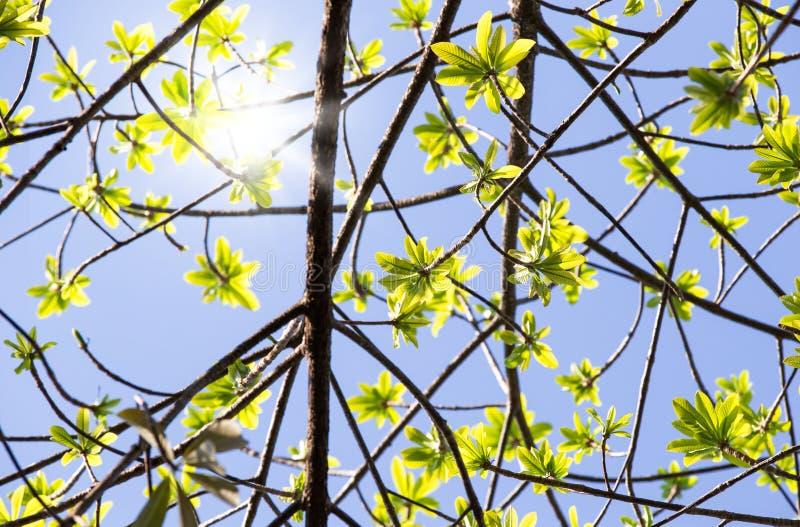 Freschezza delle foglie verdi alla stagione primaverile e sole su cielo blu fotografia stock