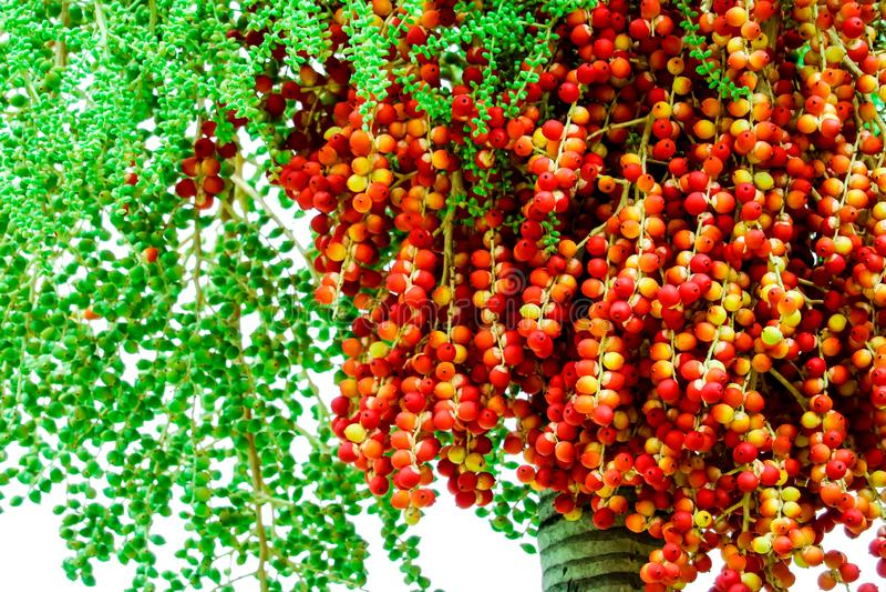 fresco de las semillas crudas de la palma en granja y semilla tiene colorido y verde fotos de archivo libres de regalías