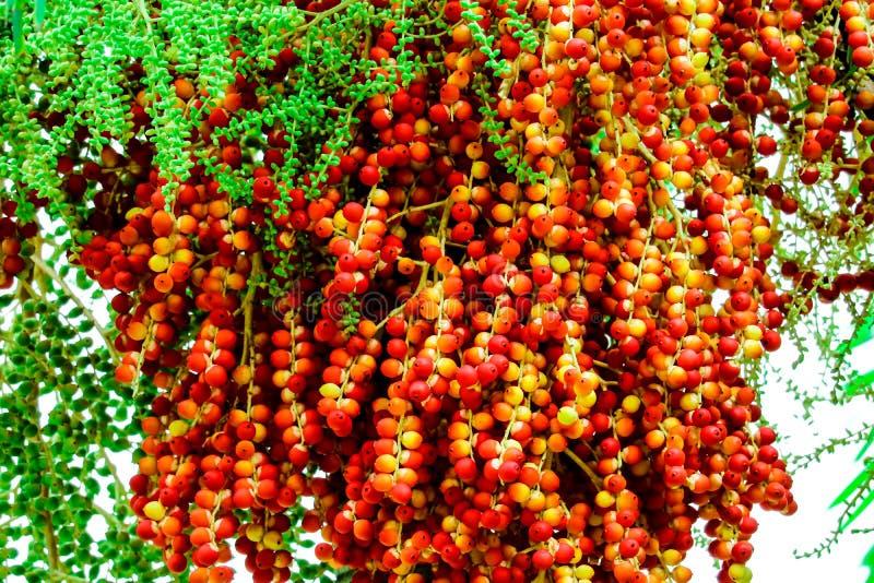 fresco de las semillas crudas de la palma en granja y semilla tiene fruta colorida de la palma fotos de archivo