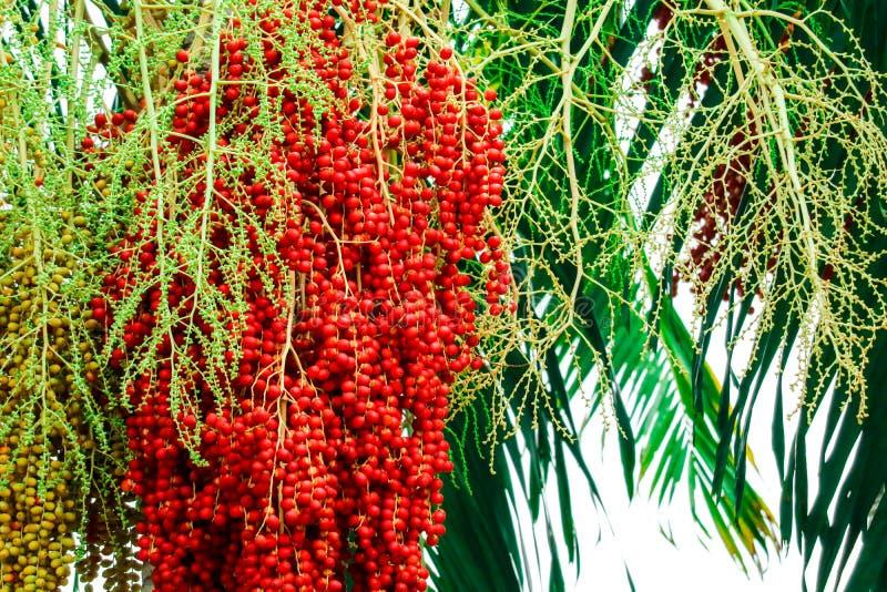 fresco de las semillas crudas de la palma en granja y semilla tiene fruta colorida de la palma imagen de archivo