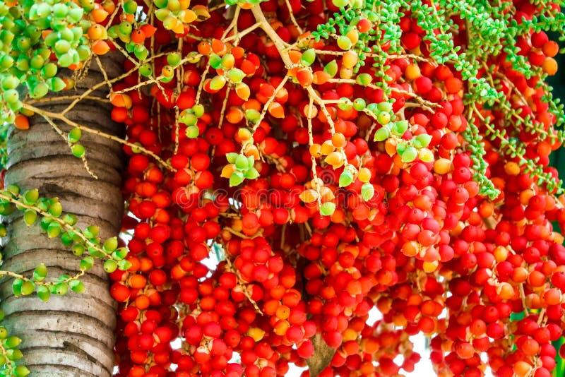 fresco de las semillas crudas de la palma en granja y semilla tiene fruta colorida de la palma fotos de archivo libres de regalías