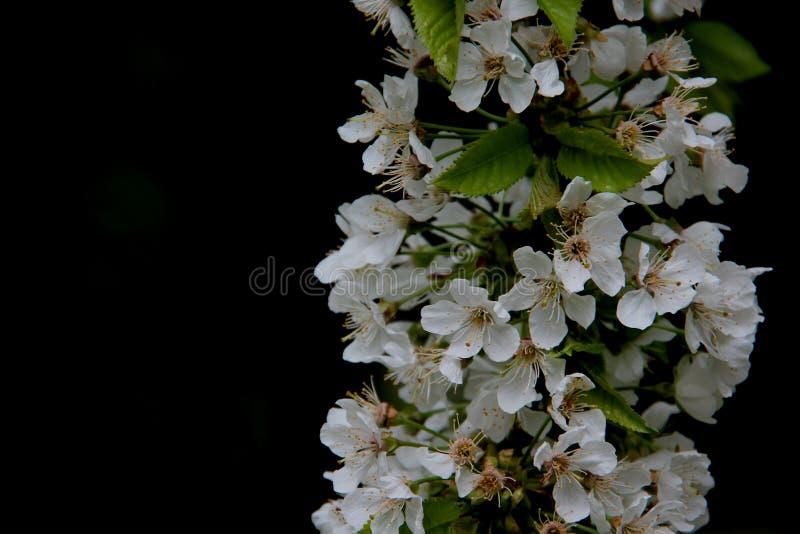 Fresco e puro Cherry With Black Background bianco di fioritura immagine stock libera da diritti