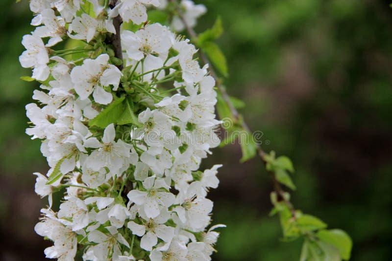 Fresco e puro Cherry With Blurs Background bianco di fioritura immagini stock