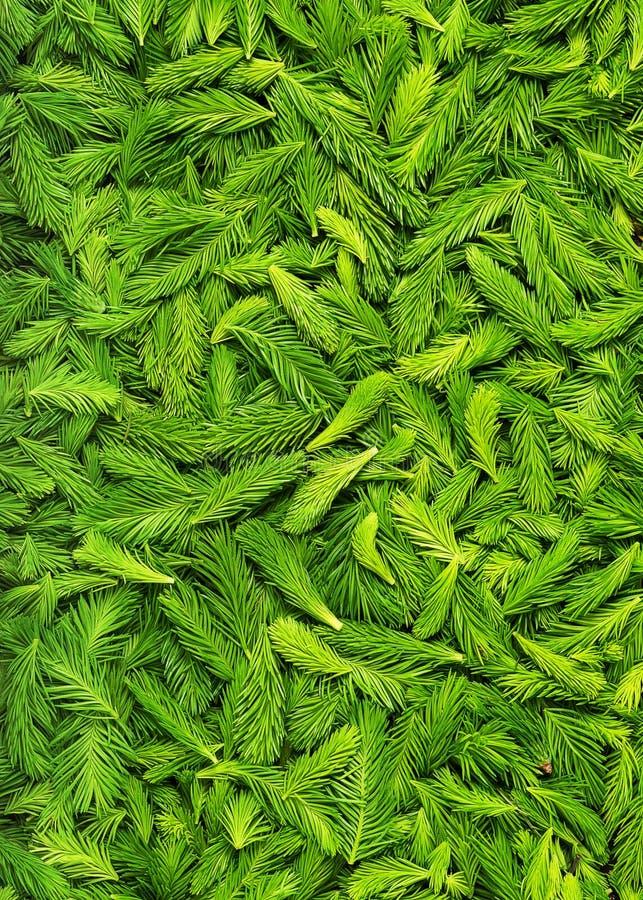 Fresco escolheu tiros verdes do abeto vermelho fotografia de stock royalty free