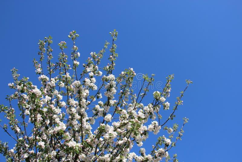 fresco Fiori bianchi di fioritura di fioritura delle mele con il cielo blu dell'indaco fotografia stock libera da diritti
