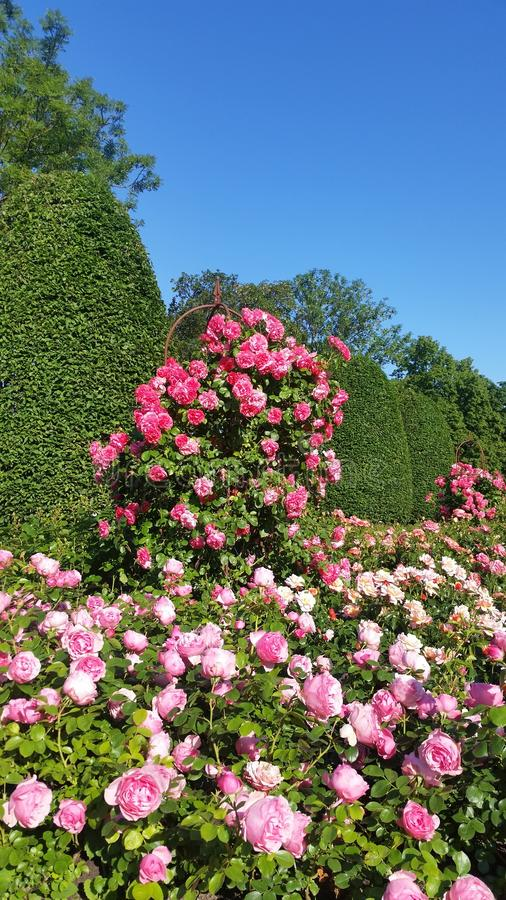 fresco Rose rosa dolci variopinte del fiore Rose Garden With Warm Sunlight immagine stock