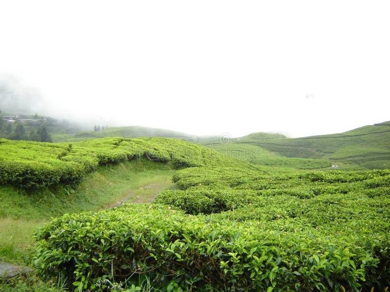 Fresco, verde, giardino di tè immagine stock libera da diritti