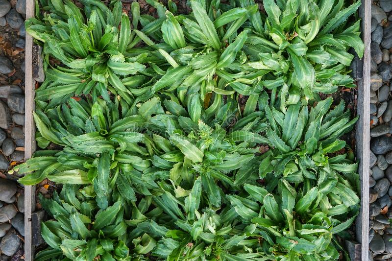 Fresh abundant green Culantro Thai food spice vegetable full of beautiful leaves in garden plot, top view royalty free stock photo