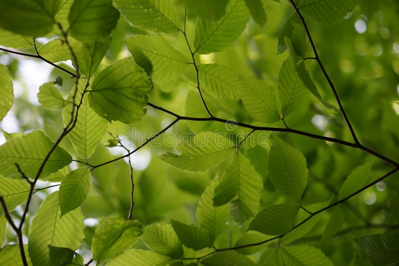 Fresh alder leaf background, view from below the tree.  stock photos
