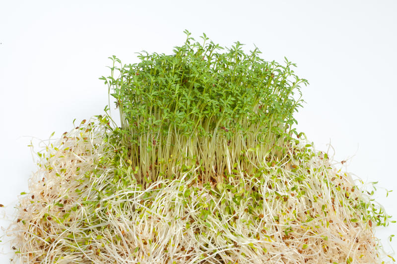 Download Fresh Alfalfa Sprouts And Cress Stock Image - Image: 30373551