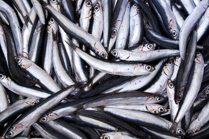 Fresh anchovies royalty free stock photos