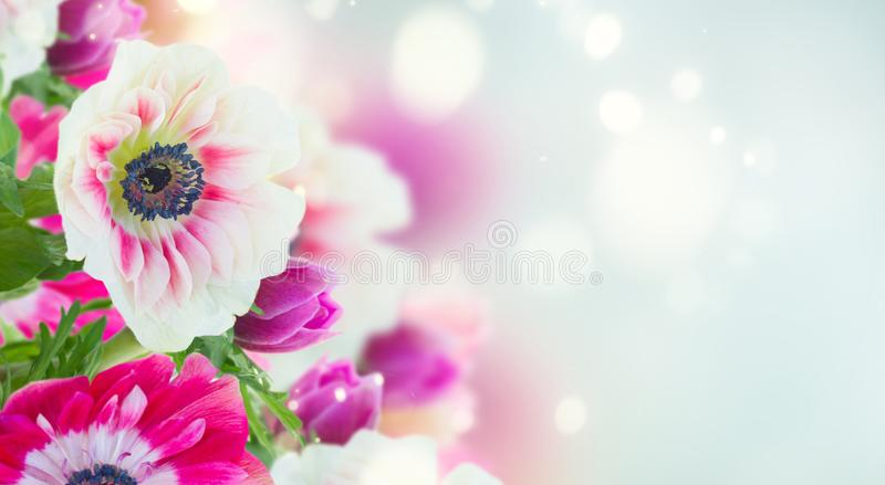 Anemone flowers on blue. Fresh anemone flowers isolated on blue bokeh background banner royalty free stock image