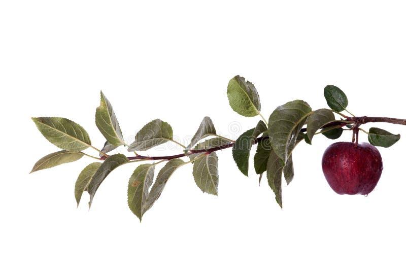 Fresh apple royalty free stock photos