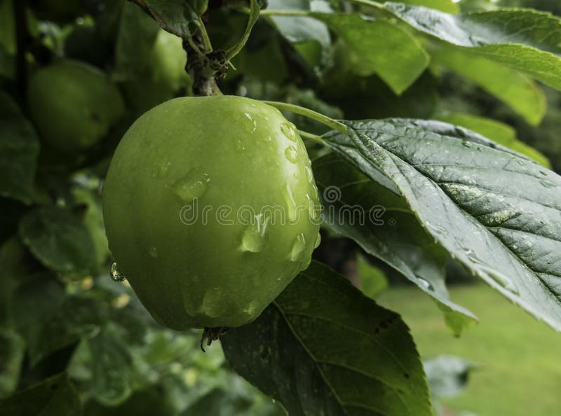 Fresh Apple in an Orchard stock images