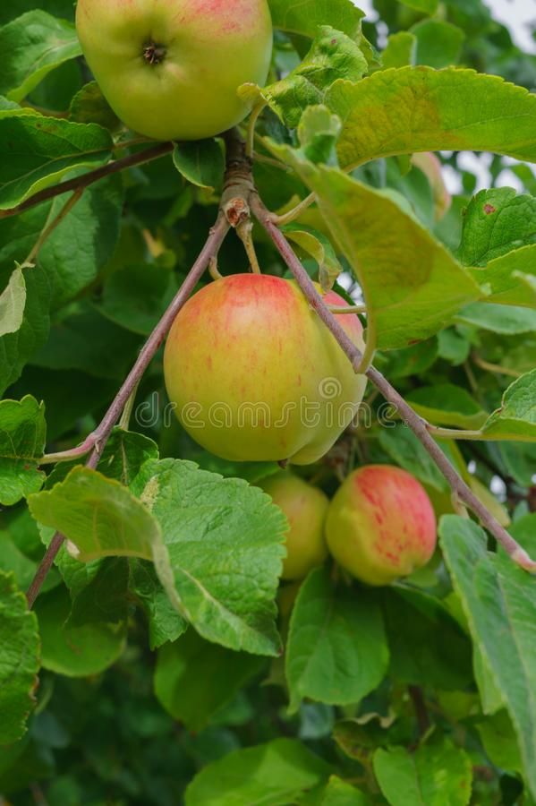 Fresh, apples of a new crop on the branches in the garden.  royalty free stock images