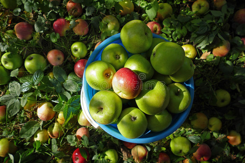 Fresh apples royalty free stock photography