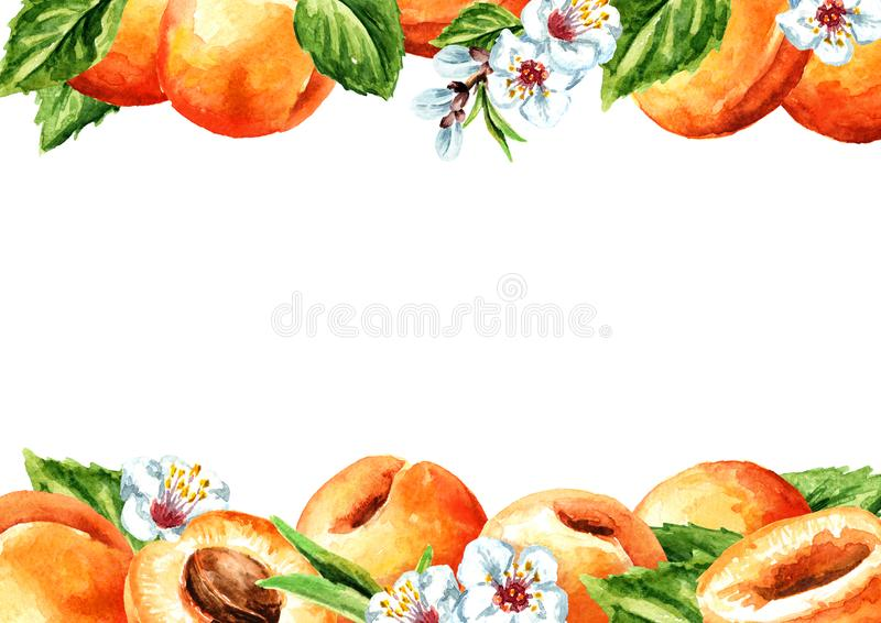 Fresh apricot horizontal template. Watercolor hand drawn illustration, isolated on white background royalty free stock photos