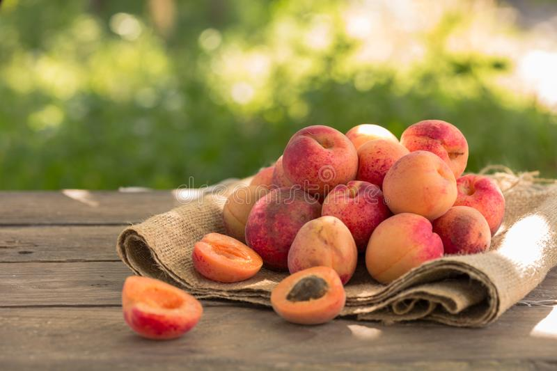 Fresh apricots in garden. harvest. Farmer showing basket full of apricots royalty free stock images