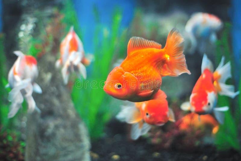 Fresh Aquarium. Goldfish in the aquarium of the province of Nakhon Sawan, Thailand royalty free stock photos