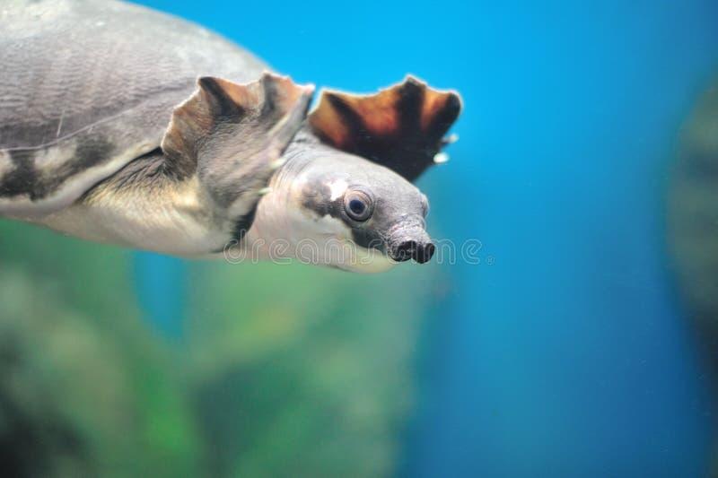 Fresh Aquarium. Soft-shelled turtle in the aquarium of the province of Nakhon Sawan, Thailand stock photos