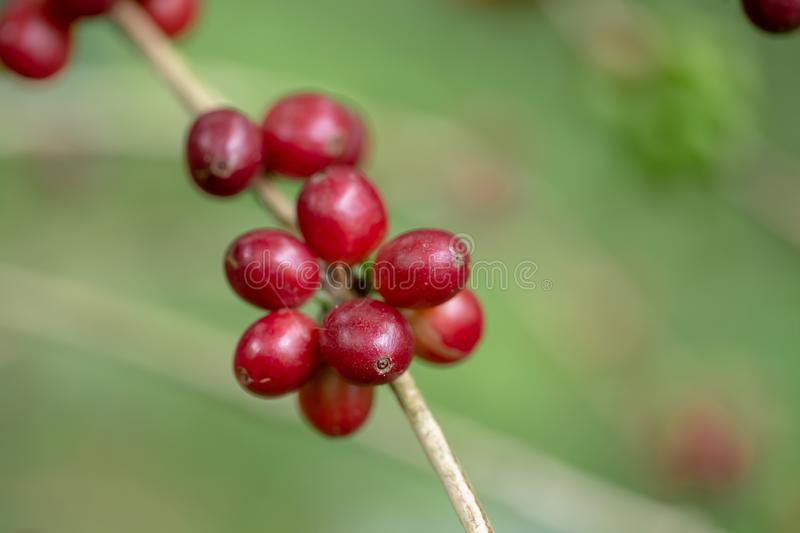 Fresh Arabica Coffee beans ripening on tree in North of thailand. stock photography