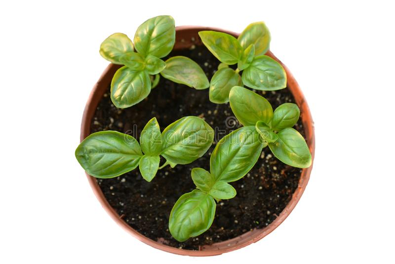 Fresh aromatic green basil plant with leaves in pot close-up on white background. Organic herb and spice, used in cooking stock photography