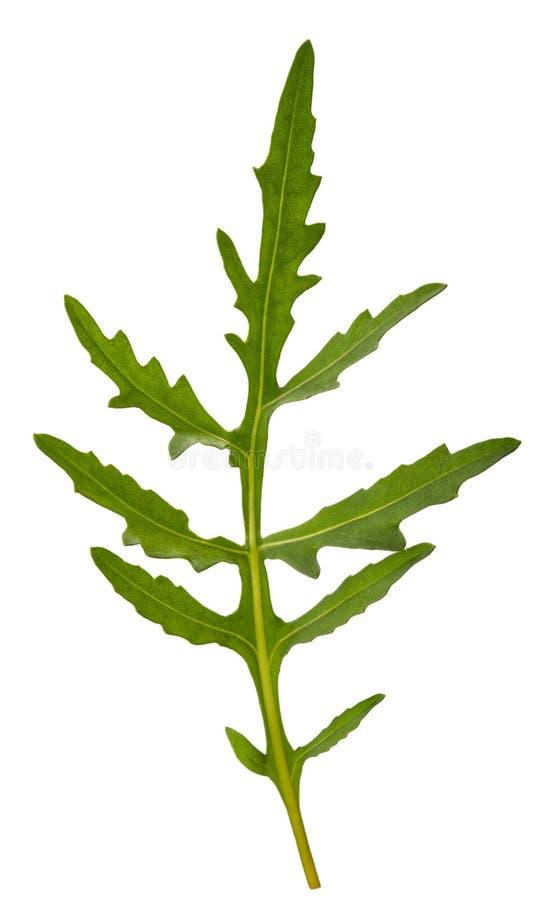 Fresh arugula. Sprig isolated on white royalty free stock photos