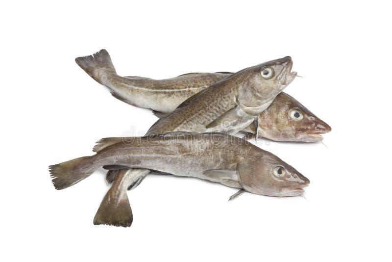 Fresh atlantic cod fishes royalty free stock image