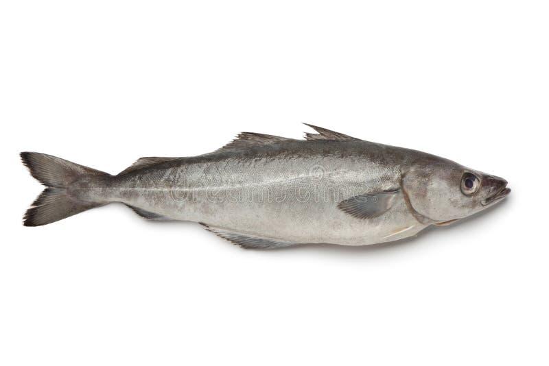 Fresh atlantic pollock fish. On white background stock photos