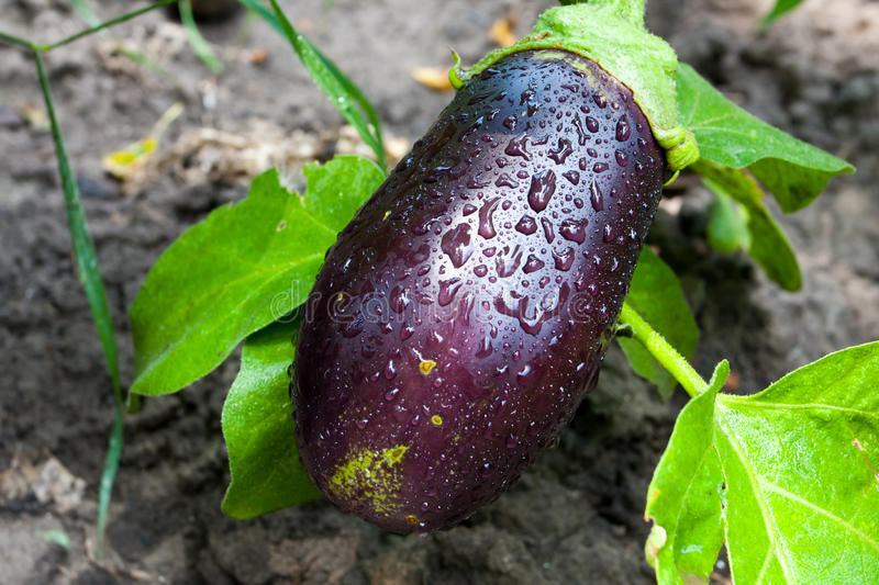Fresh aubergine. With water drops on surface stock images
