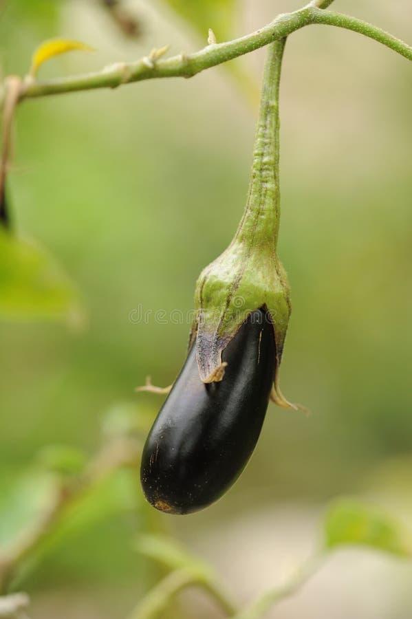 Fresh aubergine on vegetable garden.  stock photography