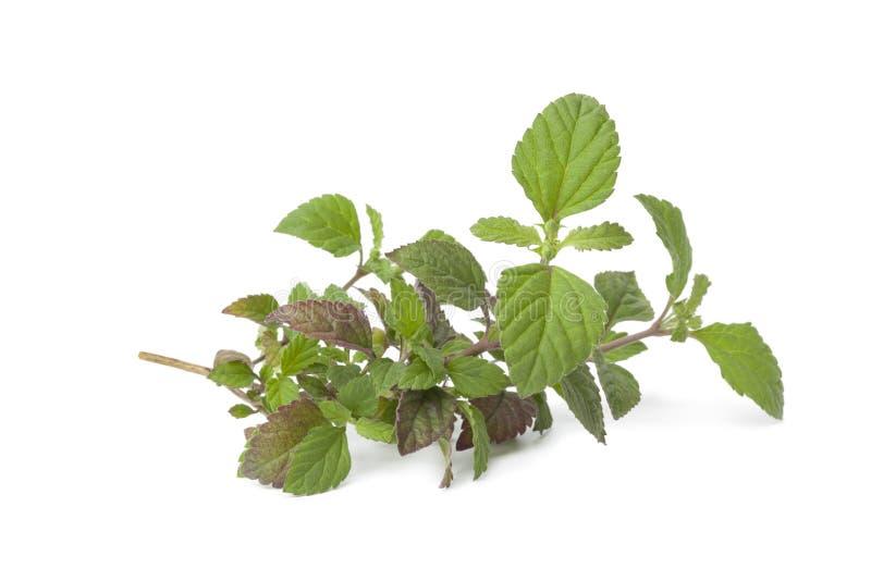 Download Fresh Aztec sweet herb stock image. Image of sweetener - 24995025