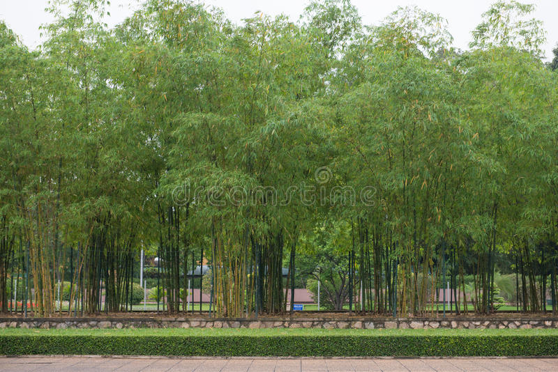 Fresh bamboo in garden. Plant stock photo