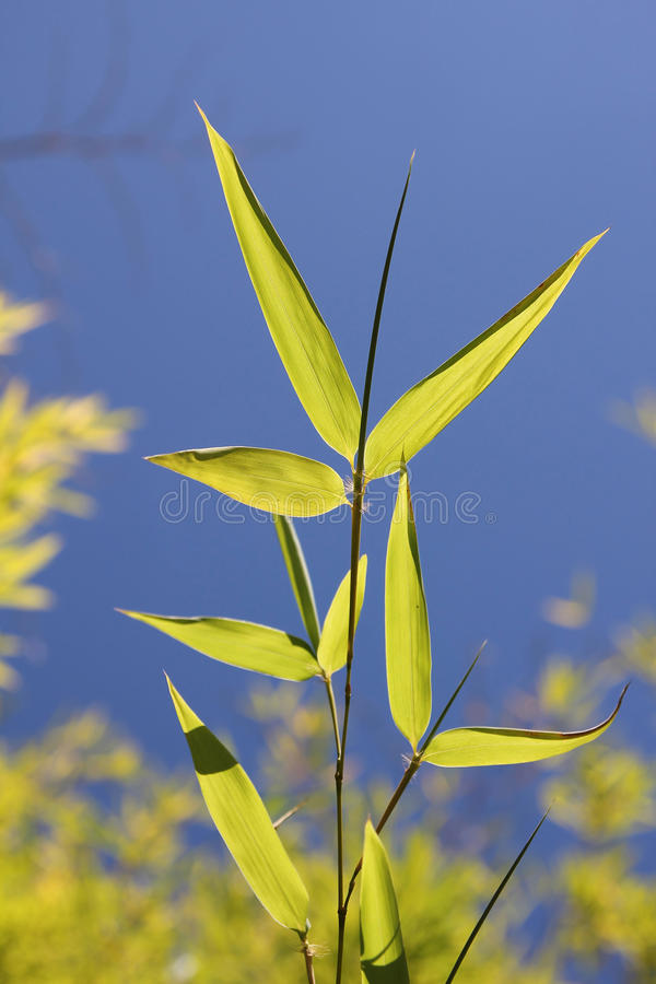 Fresh bamboo leaves against blue sky. Bright bamboo leaves against blue sky royalty free stock photo