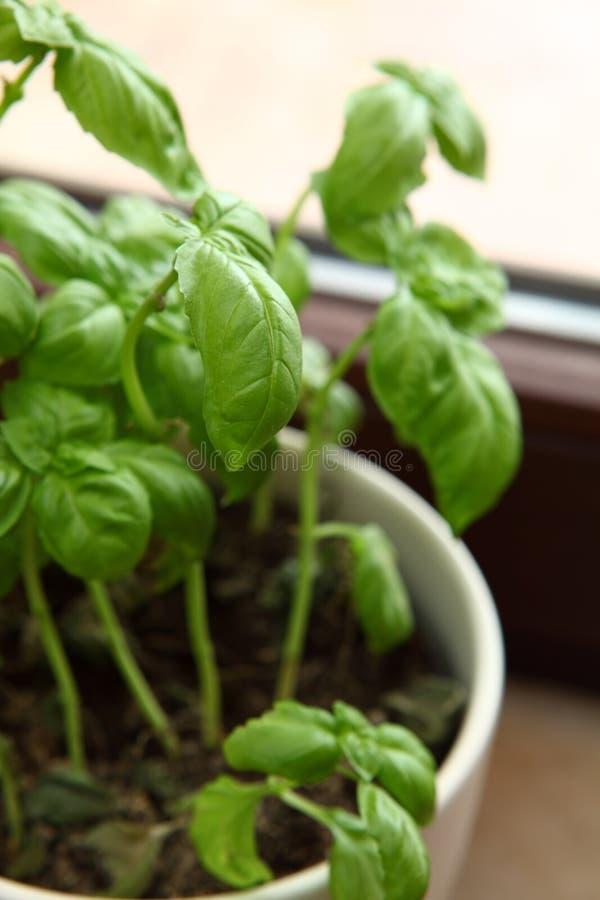 Download Fresh Basil stock photo. Image of leaf, close, freshness - 13154304
