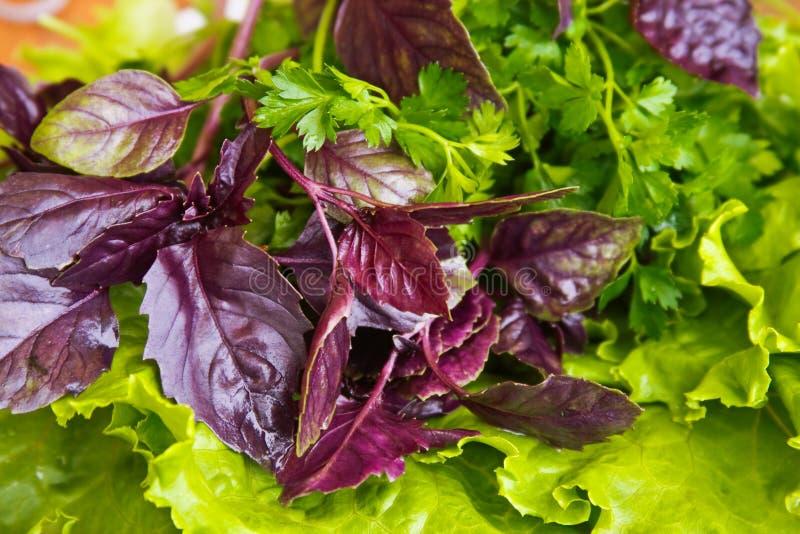 Fresh basil. Lettuce and parsley close-up background royalty free stock photo