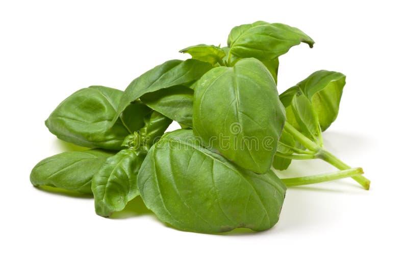 Download Fresh basil stock image. Image of closeup, flora, ingredient - 18334125