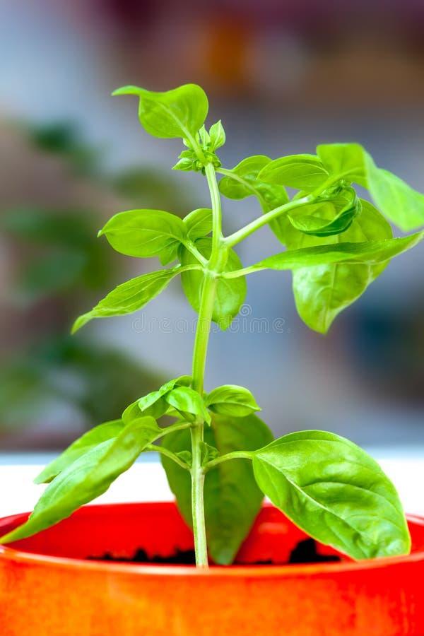 Download Fresh basil stock image. Image of kitchen, basilica, plant - 21212579