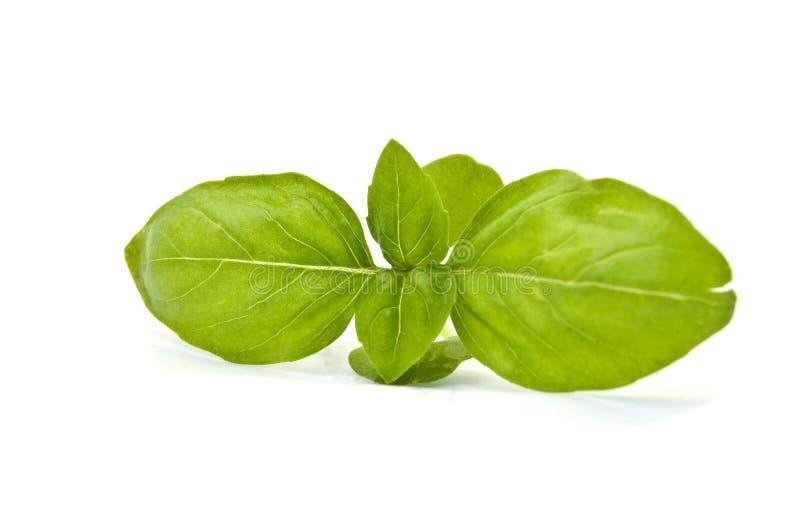 Download Fresh basil stock image. Image of white, seasoning, plant - 29054015