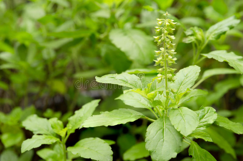 Fresh basil flower and basil leaf plant in the garden royalty free stock photos