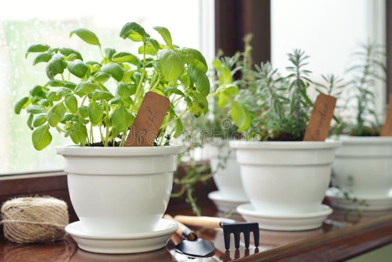 Fresh basil herb in pot stock image